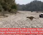 Leopard rescued from Greater Noida village released in Shivalik forest range