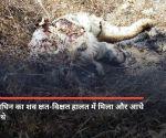 मध्य प्रदेश: कान्हा नेशनल पार्क में बाघ ने किया बाघिन का शिकार, मारकर खा गया
