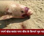 चेन्नई: डॉर्फ स्पर्म व्हेल बसंत नगर बीच के किनारे मृत पाई गई