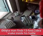 Watch: 13-feet-long king cobra rescued from house