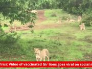 CDV Virus: Video of vaccinated pride of lions goes viral on social media