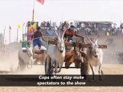 Legal consequences fail to discourage bullock cart races in Maharashtra