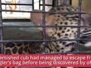 Meet 'K', leopard cub smuggled from Thailand now ready to go back home