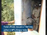 MP: 7-feet-long python rescued by forest officials in Alirajpur