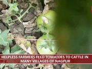 Nagpur: Unable to get fair market price, farmers feed tomatoes to cattle