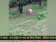बाघ ने सतना-पन्ना हाईवे पर गाय का किया शिकार, विडियो वायरल