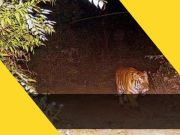 Tiger from MP's Ratapani has turned out to be a resident of Gujarat