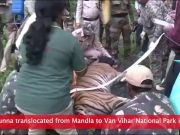 Tiger Munna translocated from Mandla to Van Vihar National Park in Bhopal