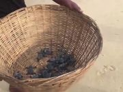 TN: Over 4,500 Olive Ridley sea turtle hatchlings released into sea