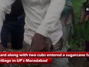 Watch: People capture leopard cubs in Moradabad Village