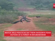 Watch: Wild peacocks eat their favourite food outside of a forest in Bhubaneswar