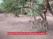 When lion ran for life seeing a buffalo in Gujarat!