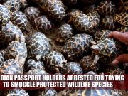 Wildlife smuggling racket busted, 210 star tortoises seized at Chennai airport