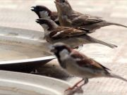 World Sparrow Day: Bird lovers keep their relationship alive with these near-extinct avian