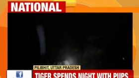 UP: Tiger found playing with pups in Pilibhit