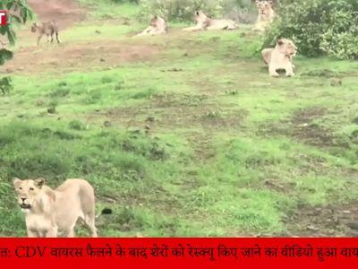 गुजरात: CDV वायरस फैलने के बाद रेस्क्यू किए गये शेरों का वीडियो हुआ वायरल