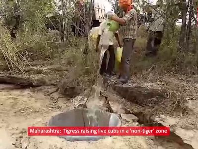 Maharashtra: Tigress raising five cubs in a 'non-tiger' zone
