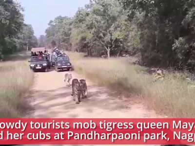 Viral video: Rowdy tourists mob queen Maya and her cubs at Pandharpaoni park