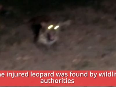 Watch: Leopard suffers serious injuries after being hit by an unidentified car in Agra